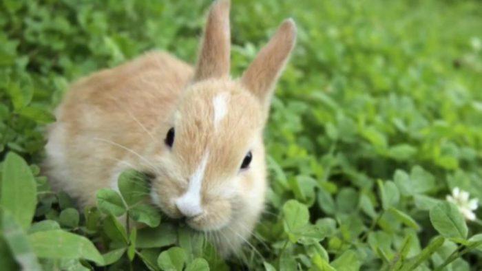 cara ternak kelinci pedaging